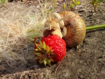 A large snail amongst the dandelion eats strawberries. Side view Royalty Free Stock Photo