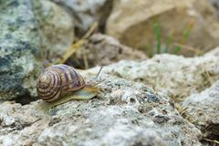 Large snail crawling on the stone. Large grape snail crawling on reef limestone royalty free stock images