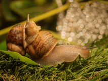 Large snail is dragging another snail. A large snail is dragging another snail Stock Photos