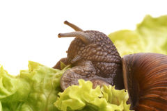 Large snail eating salad Stock Images