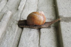 Large snail in the garden on a gray background close-up Royalty Free Stock Photos