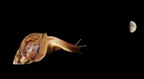 A large snail looking at the moon. Large snail looking at the moon, isolated on black background Royalty Free Stock Images