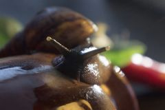 The large snail looks in the frame, close up royalty free stock photo