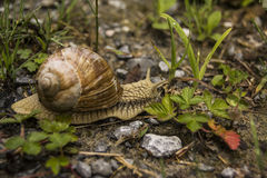 Large snail. In nature slowly moving on the dirt surface Stock Image