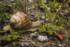 Large snail Stock Image