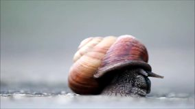 A large snail slowly emerges from the shell. stock footage