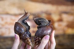 Large snails ahatina of heart-shaped for Valentine`s Day royalty free stock images