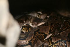 Reticulated python royalty free stock photos