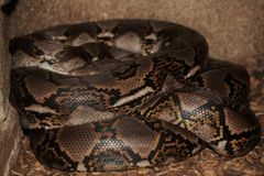 Reticulated python. A large snake resting in it& x27;s coils. A beautidul iridescent pattern on it& x27;s body Stock Photos