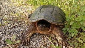Large snapping turtle. Hiding in his shell on the side of the road Royalty Free Stock Photo