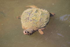 Large Snapping Turtle in Pond Stock Photo