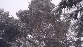 A large snow-covered pine tree Christmas winter forest, snow covers tr. stock video