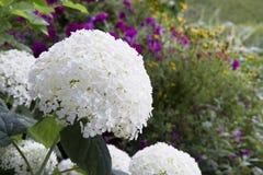 Large Snowball Hydrangea Stock Photo