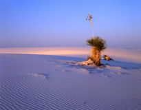 Large Soaptree Yucca (H). A large soaptree yucca plant growing in the white sand of New Mexico's White Sand National Monument Stock Image