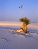 Large Soaptree Yucca (V). A large soaptree yucca plant growing in the white sand of New Mexico's White Sand National Monument Royalty Free Stock Image