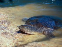 A large soft-bodied turtle - Trionychoidea - living in the river Alexander in Israel climbs  out of the water onto the rocks. A large soft-bodied turtle Royalty Free Stock Photo
