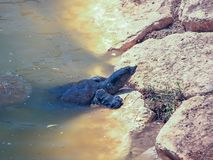 A large soft-bodied turtle - Trionychoidea - living in the river Alexander in Israel climbs  out of the water onto the rocks. A large soft-bodied turtle Stock Images