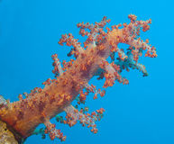 Large soft coral on a tropical coral reef Royalty Free Stock Photography