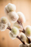 Catkins. Royalty Free Stock Photography
