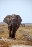 Large solitary bull African elephant Stock Image