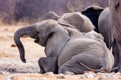 Large solitary bull African elephant Stock Photos