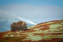 Bull Musk Ox Grazing. A large solitary bull Musk Ox grazes peacefully on lichens within the old militarised zone of Dovrefjell National Park in Norway Stock Images