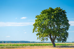 Large solitary tree in a  l field Royalty Free Stock Photography