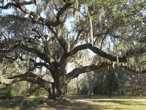 Large southern oak tree with Spanish moss Royalty Free Stock Photos