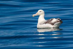 Albatross - Southern Royal Royalty Free Stock Images