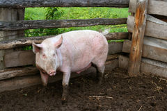 Large sow at the courtyard Stock Photos