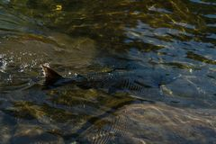 Large Spawned Salmon in river Vancouver Island, Canada. Photo taken in Canada royalty free stock photography