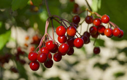 A large species of red viburnum berries against a background of leaves Royalty Free Stock Images