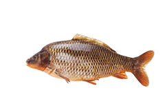 Large specimen of raw common carp Stock Photos