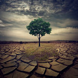 A large spectacular lone oak tree on a hill that is scorched. The last remaining grass being encroached by the cracked earth. Concept for global warming. This Royalty Free Stock Photo
