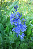 Large Speedwell (Veronica teucrium) Royalty Free Stock Images