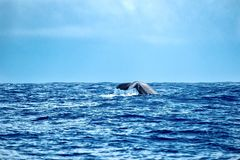 Large sperm whale. A giant sperm whale shows his tail flukes as he dives Royalty Free Stock Images