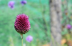 Large sphaerocephalon allium flower Royalty Free Stock Image