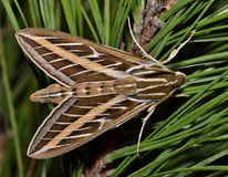 Sphinx Moth on some pine needles. stock images