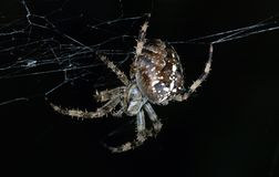 Large Spider Stock Photo