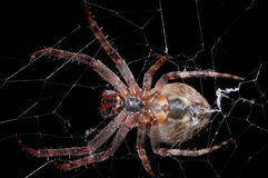 Large spider Royalty Free Stock Image
