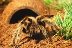 A large spider. Near its nest, looking at camera Stock Photography