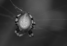 Large Spider. Black and white closeup of a large European Garden Spider in its web stock photos