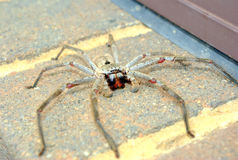 Large spider on bricks Royalty Free Stock Image