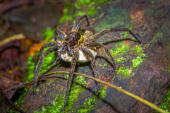 A large spider carrying below her a white bag of eggs, inside of the forest in Cuyabeno National Park, in Ecuador Royalty Free Stock Photography