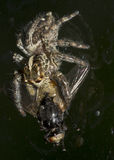 Large spider eating a big fly on a window. Royalty Free Stock Photo