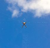 A large spider hanging in its web Royalty Free Stock Images