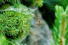 Large spider on his web Royalty Free Stock Image