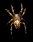 Large spider isolated on black Royalty Free Stock Photography
