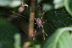 Large spider in its web Stock Image