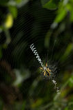 Large spider on orb web with stabilimntum. Black and yellow orb weaver spider on spiral wheel-shaped web with bright white stabilimentum, against dark garden Stock Photo